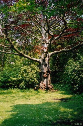 de sprookjesboom is kenmerkend voor het gebied Reigersbergen